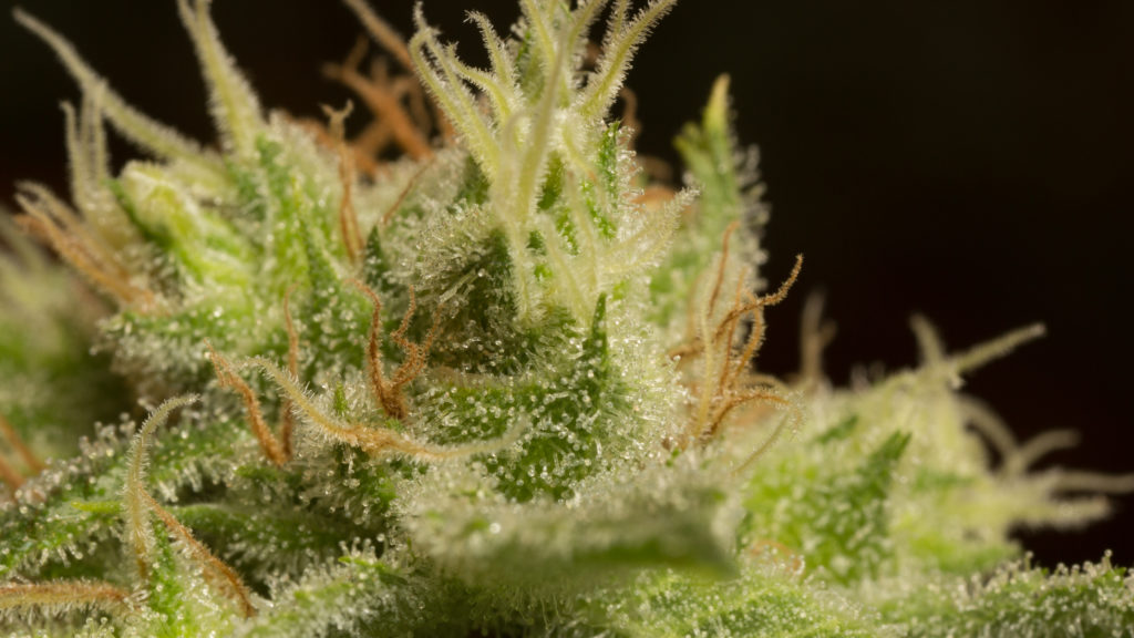 Cannabis Close Up Shot