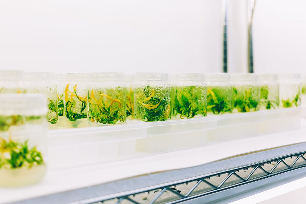 A full shelf of cannabis tissue culture samples at Cultivar Syndicate. Photo courtesy of Oleg Zharsky.